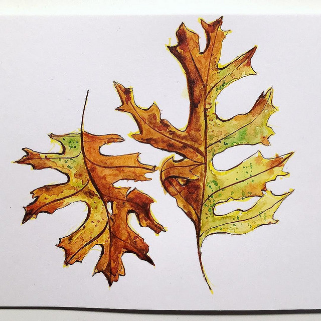 Two pin oak autumn leaves drawings